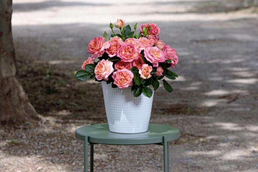 MEILLAND : Le rosier AUGUSTE ESCOFFIER® Meizasmyne reçoit le Grand Prix de la Rose SNHF, le 3 juin 2021