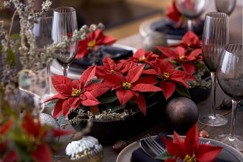 STARS FOR EUROPE : Comment prendre soin de votre poinsettia à l'approche de Noël et des fêtes de fin d'année ?