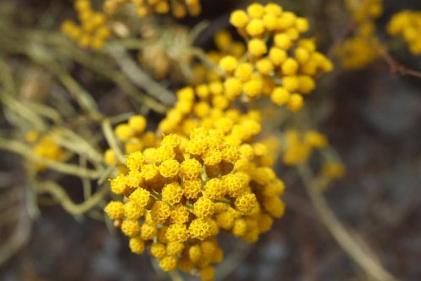 UNIVERSITA DI CORSICA : AGRIEX, le nouveau programme de recherche sur les plantes aromatiques et médicinales de Corse à l'initiative de l'Université de Corse Pasquale Paoli et du CNRS