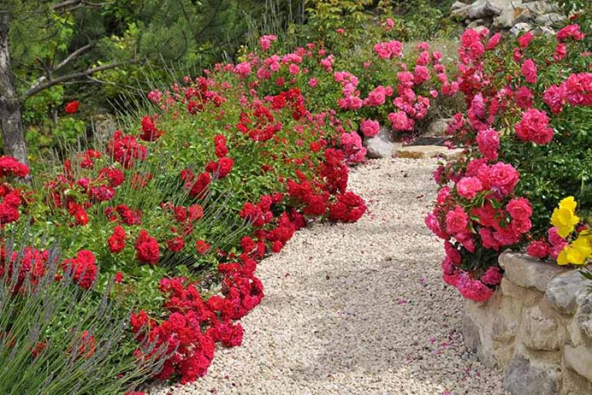 VERDIA : Depuis 20 ans, les DECOROSIERS fleurissent la France avec des rosiers faciles et généreux pour jardins et espaces verts