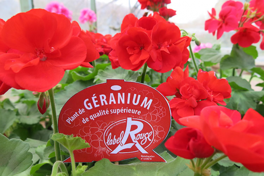 EXCELLENCE VÉGÉTALE : Le Label Rouge pour les rosiers, les géraniums, les sapins de Noël, le gazon, les dahlias est un signe officiel de qualité pour des plantations réussies
