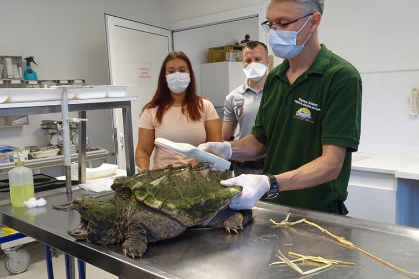 OFFICE FRANÇAIS DE LA BIODIVERSITE-OFB : Fin avril 2020, une tortue alligator, rare et dangereuse, prise en charge par les agents de l'OFB sur la commune de Villeneuve-Loubet (Alpes-Maritimes)